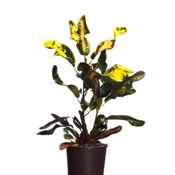 Codiaeum Croton Mammy 12.5cm 125mm