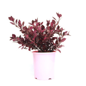 Alternanthera Little Ruby 14cm 140mm