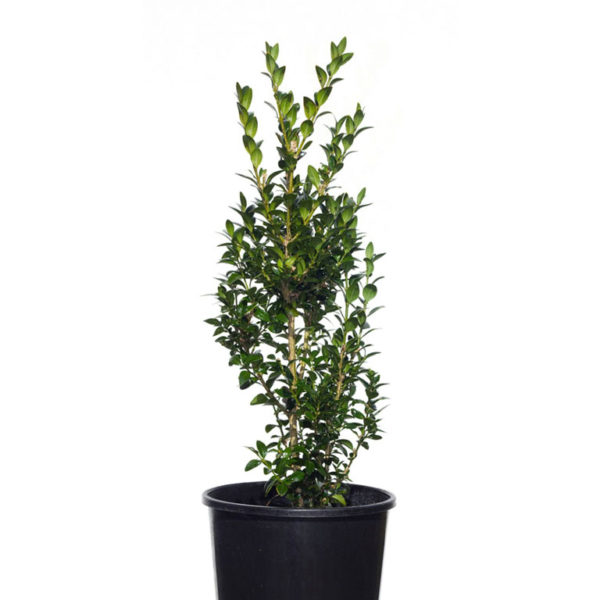 Buxus Sempervirens English box 14cm 140mm