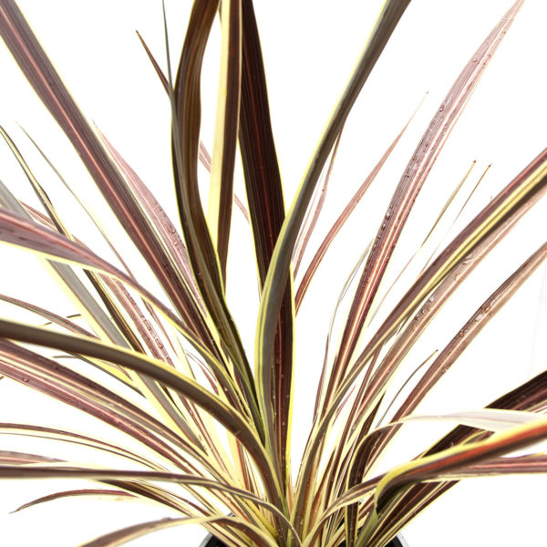 Cordyline Electric Flash 175mm close up