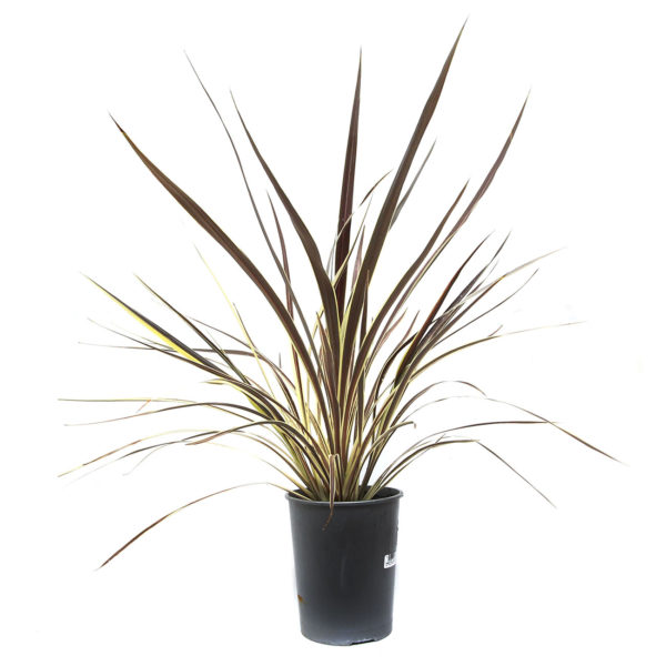 Cordyline Electric Flash 175mm / 200mm
