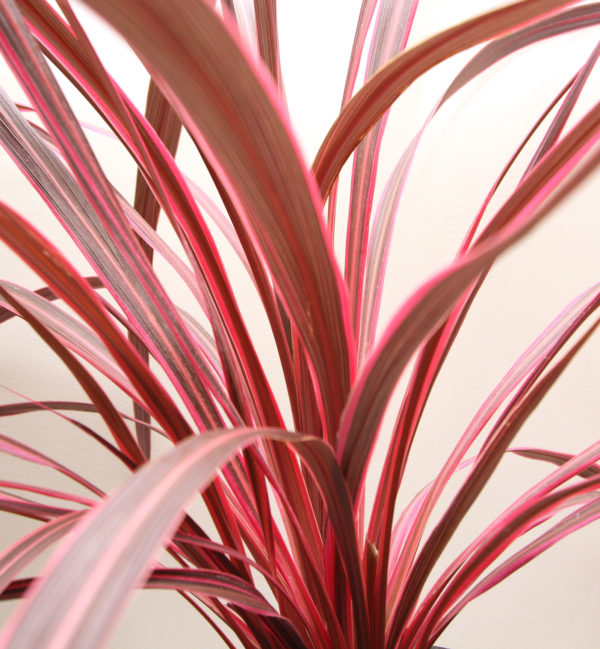Cordyline Electric Pink Close up 175mm