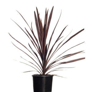 Cordyline Red Star 20cm 200mm