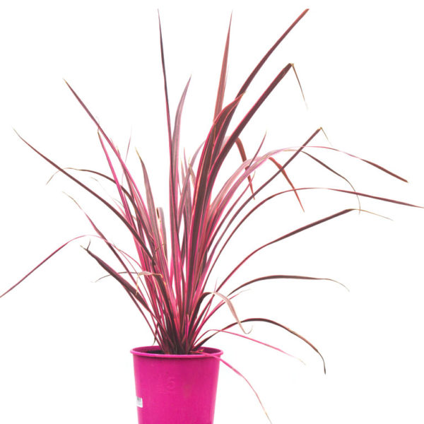 Cordyline Electric Pink 175mm / 200mm