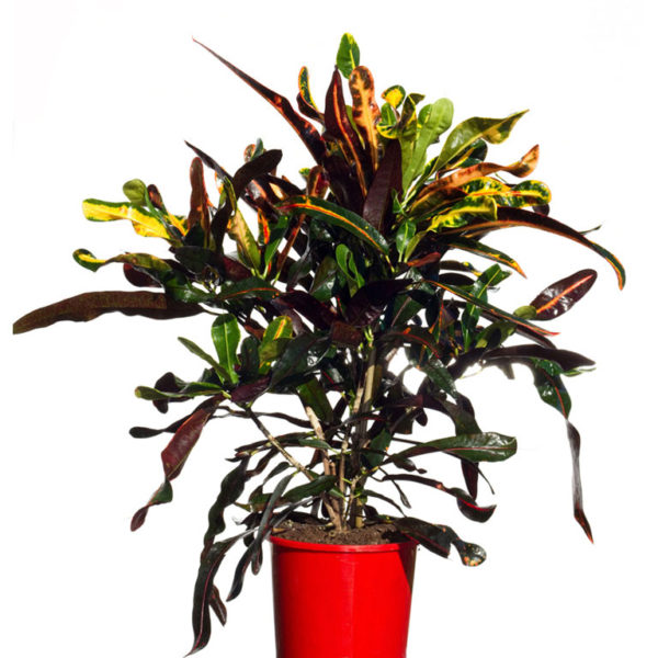 Croton Mammy 17.5cm 170mm