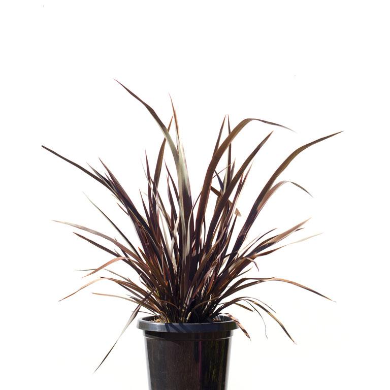 Flax dwarf black rage 20cm 200mm