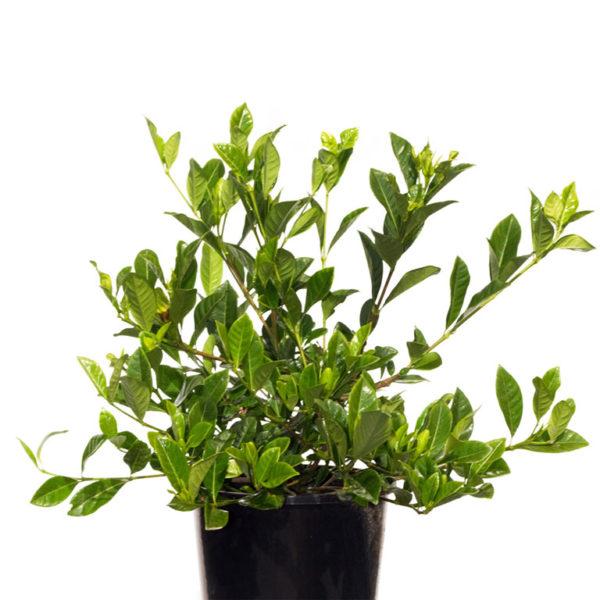 Gardenia Augusta Florida 20cm 200mm