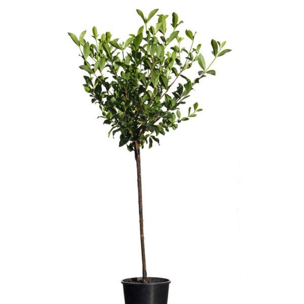 Gardenia Standard Aimee Yoshiba 20cm 200mm