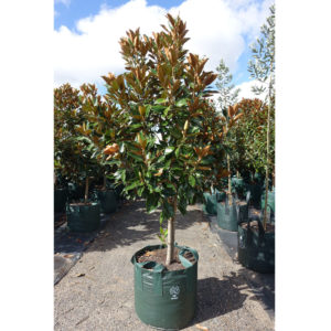 Magnolia Little Gem 100L