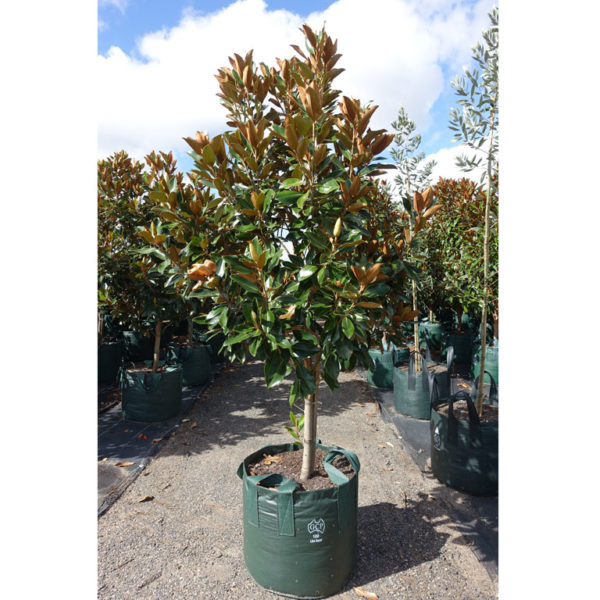 Magnolia Little Gem 100L