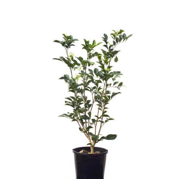 Murraya Paniculata Orange Jasmine 14cm 140mm