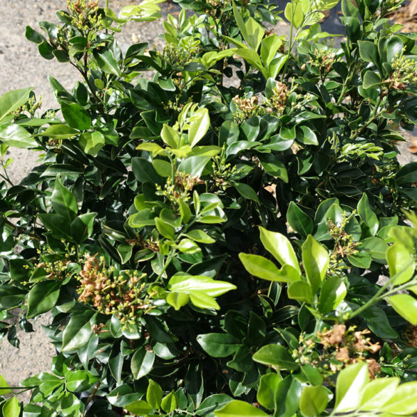 Murraya Paniculata 400mm close up