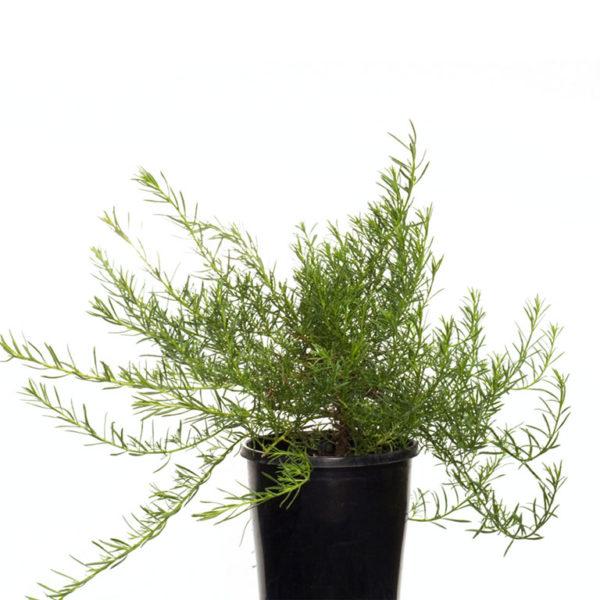 Myoporum parvifolium fine white 14cm 140mm