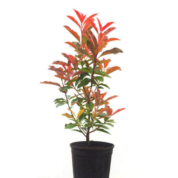 Photinia red robin 14cm 140mm