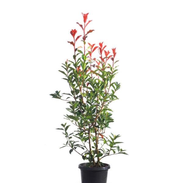 Photinia red robin 30cm 300mm